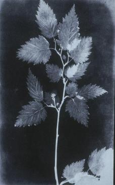 William Henry Fox Talbot; Botanical Specimen; 1839; photogenic start