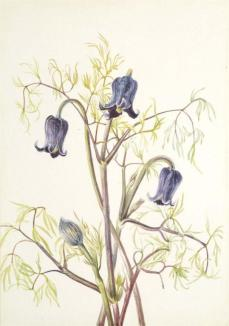 Mary Vaux Walcott; Leather Flower (Clematis hirsutissima); c.1930; watercolor on paper; 25.5 x 17.7 cm; Smithsonian American Art Museum