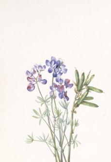 Mary Vaux Walcott; Untitled--Flower Study; c.1900-30; watercolor on paper; 25.5 x 17.7 cm; Smithsonian American Art Museum