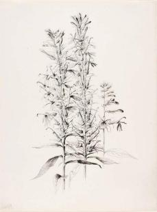 George Elbert Burr; Untitled (Cardinal Flower, Lobelia cardinalis); 1889; pen and ink on paper; 36.5 x 27.5 cm; Smithsonian American Art Museum
