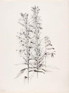 George Elbert Burr; Untitled (Cardinal Flower, Lobelia cardinalis); 1889; pen and ink on paper; 36.5 x 27.5 cm; Smithsonian American Art Museum