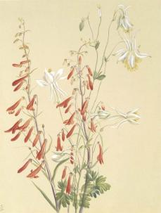 Mary Vaux Walcott; Untitled--Flower Study; c.1883-1900; watercolor on paper; 31.6 x 23.9 cm; Smithsonian American Art Museum