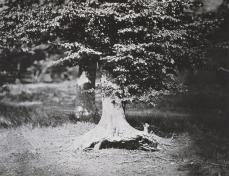Gustave Le Gray; Beech Tree, Forest of Fontainebleau; c.1856; albumen print from wet collodion negative