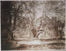 Gustave Le Gray; Tree, Forest of Fontainebleau; c.1856; albumen print from wet collodion negative; 31.9 x 41.6 cm