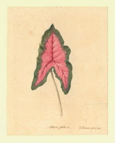 Sydney Parkinson; Family: Araceae, Genus/Species: Arum italicum; 1768; Natural History Museum, London, Great Britain