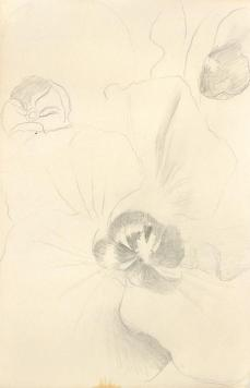 Georgia O'Keeffe; Untitled (Flower); 1959-60; graphite on paper; Georgia O'Keeffe Museum
