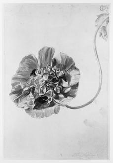 Jan van Huysum; Flower study; early 18th century; watercolor; 181 x 272 mm; British Museum