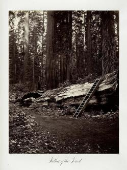 Carlton E. Watkins; Father of the Forest; c.1876; albumen silver print from glass negative; The Metropolitan Museum of Art