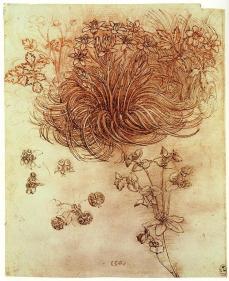 Leonardo da Vinci; Star of Bethlehem (Ornithogalum umbellatum) and anemones (Anemone bulbosa, Anemone ranunculoides); c.1506-8; pen and ink over red chalk on paper; 198 x 160 mm; Windsor Castle, Windsor, England, UK