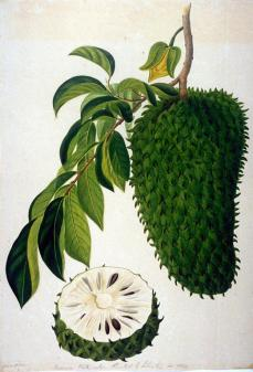 Gerrit Shouten; One Botanical Study; 1820-1830; watercolor; 56.7 x 44.6 cm; Fine Arts Museum of San Francisco