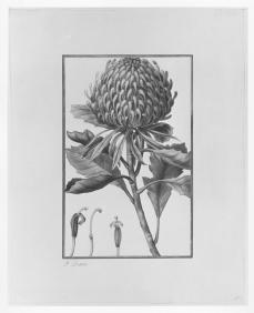 Pancrace Bessa; Botanical Design; watercolor and lead point on vellum; 266 x 207 mm; Cleveland Museum of Art