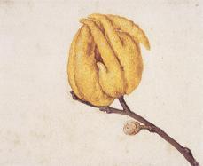Vincenzo Leonardi; Lemon, Citrus limon (L.) Burm. f.: flowering twig; watercolor and bodycolor over black chalk; 276 x 189 mm