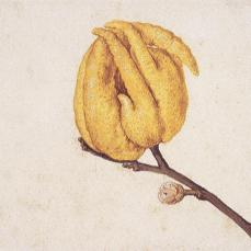 Vincenzo Leonardi; Lemon, Citrus limon (L.) Burm. f.: flowering twig; watercolor and bodycolor over black chalk; 276 x 189 mm