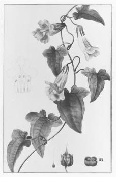 Pancrace Bessa; Botanical design; watercolor, pencil, lead point on vellum; 262 x 208 mm; Cleveland Museum of Art