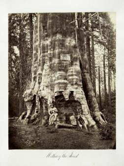 Carlton E. Watkins; Mother of the Forest; c.1876; albumen silver print from glass negative; The Metropolitan Museum of Art