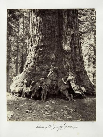 Carlton E. Watkins; Section of the Grizzly Giant, 101 feet circumference; c.1876; albumen silver print from glass negative; The Metropolitan Museum of Art