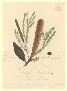 Thomas Watling; Plant, a Banksia; c.1972-97; watercolor; 31.8 x 23 cm