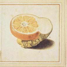 Vincenzo Leonardi; Citron and sour orange, Citrus medica L. and Citrus aurantium L.: chimeric half-fruit; watercolor and bodycolor, with gum heightening, over black chalk and incised lines; 129 x 130 mm; Windsor Castle, Royal Library, UK
