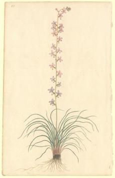 Port Jackson Painter; Un-named flowering plant; c.1788-98; watercolor; 31.8 x 19.8 cm; The Natural History Museum, London