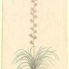 Port Jackson Painter; Un-named flowering plant; c.1788-98; watercolor; 31.8 x 19.8 cm; The Natural History Museum, London