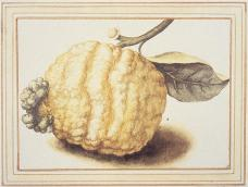 Citrus, Citrus: ribbed misshapen fruit; watercolor and bodycolor, with gum heightening, over black chalk; 137 x 193 mm; Windsor Castle, Windsor, UK