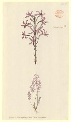 Port Jackson Painter; Un-named plant (possibly a species of Hyacinth orchid Dipodium); c.1788-97; watercolor and body color; 30.4 x 17.1 cm; The Natural History Museum, London