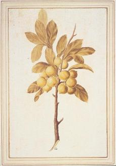 Citrus, Citrus sp.: fruiting branch; watercolor and body color over graphite; 312 x 205 mm