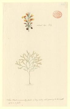 Port Jackson Painter; Un-named flowering tree or shrub (possibly of the Fabaceae family); c.1788-97; watercolor and ink; 27.5 x 17.4 cm; Natural History of Museum