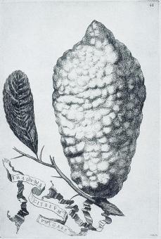 Giovanni Battista Ferrari; Hesperides: Malum citreum vulgare; etching and engraving; 1646