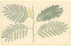 Port Jackson Painter; Un-named plant (a species of Acacia); c.1788-98; watercolor; 31.9 x 20.1 cm; The Natural History Museum, London