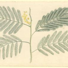Port Jackson Painter; Un-named plant (a species of Acacia); c.1788-98; watercolor; 31.9 x 20.1 cm; The Natural History Museum, London