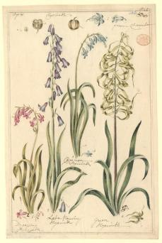 Artist unknown; Hyacinth; watercolor; 38.3 x 25.4 cm; The Natural History Museum, London