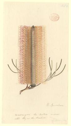 "Port Jackson Painter; Banksia spinalosa, native name ""Wallangre""; c.1788-97; watercolor; 30.3 x 16.4 cm; The Natural History Museum, London"