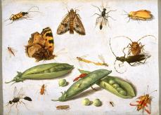 Jan van Kessel; Peapods and Insects; c.1650; oil on copper; 13.7 x 19.1 cm; Fine Arts Museum of San Francisco