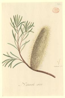Port Jackson Painter; Un-named flowering Plant (a species of Banksia); c.1788-97; 32.9 x 21.5 cm; The Natural History Museum, London
