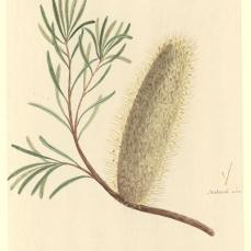 Port Jackson Painter; Un-named flowering Plant (a species of Banksia); c.1788-97; 32.9 x 21.5 cm; The Natural History Museum, London