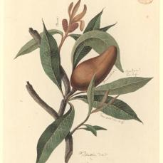"Thomas Watling; Plant, ""a Banksia""; c.1972-97; watercolor and glazing in darker areas; 35 x 23.5 cm; The Natural History Museum, London"
