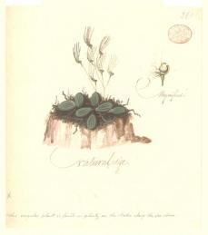 Port Jackson Painter; Un-named flowering plant (possibly the Tongue orchid Dendrobium linguiforme); c.1788-97; watercolor; 22.2 x 19.7 cm; The Natural History Museum