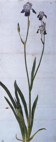 Albrecht Dürer; Iris; 1508; watercolor, brush, pen; 775 x 313 mm; Kunsthalle Bremen