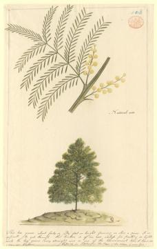 Port Jackson Painter; Un-named flowering tree (possibly Acacia); c.1788-97; watercolor, ink, some glazing; 37 x 23 cm; The Natural History Museum, London
