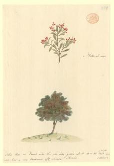 """Port Jackson Painter; Fruiting tree, """"Stipalix""""; c.1788-97; watercolor and ink; 29.9 x 20.2 cm; The Natural History Museum, London"""
