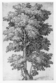 Anonymous Italian artist; Study of a tree in leaf; late 16th century; 425 x 276mm; Victoria and Albert Museum, London, UK