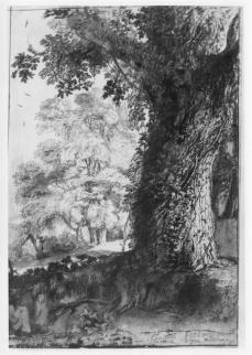 Claude Lorrain; Oak in Vigna Madama; 1638; pen and brown ink and brown wash over graphite; 330 x 224 mm; British Museum