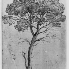 Claude Lorrain; Pine Tree; 1665; pen and brown ink over graphite; 388 x 260 mm; British Museum