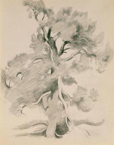 Georgia O'Keeffe; Untitled (tree); 1940s/1950s; graphite on paper; Georgia O'Keeffe Museum