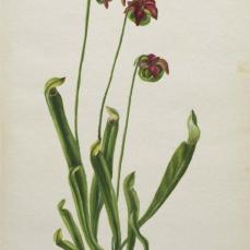 Mary Vaux Walcott; Untitled--Flower Study; 1940; watercolor on paper; 25.5 x 17.9 cm; Smithsonian American Art Museum