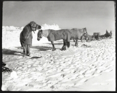 Scott, R F Antarctic , Nov. 19, 1911. The peaceful comfort of the ponies' temporary residence in the sun is disturbed as the eye is led along the line of sledges and out into the great beyond.
