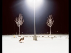 Amy Stein; Howl; Part of 'Domesticated' Series