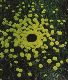 Andy Goldsworthy; Yorkshire Sculpture Park: Dandelions/ newly flowered/ none has yet turned to seed/ undamaged by wind or rain/ a grass verge...; 1987; flowers