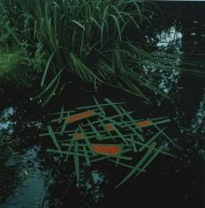 Andy Goldsworthy; Yorkshire Sculpture Park: Calm overcast: laid iris places on pond pinned together with thorns, filled five sections; 1987; leaves, berries, water